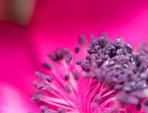 Delicate Anemone